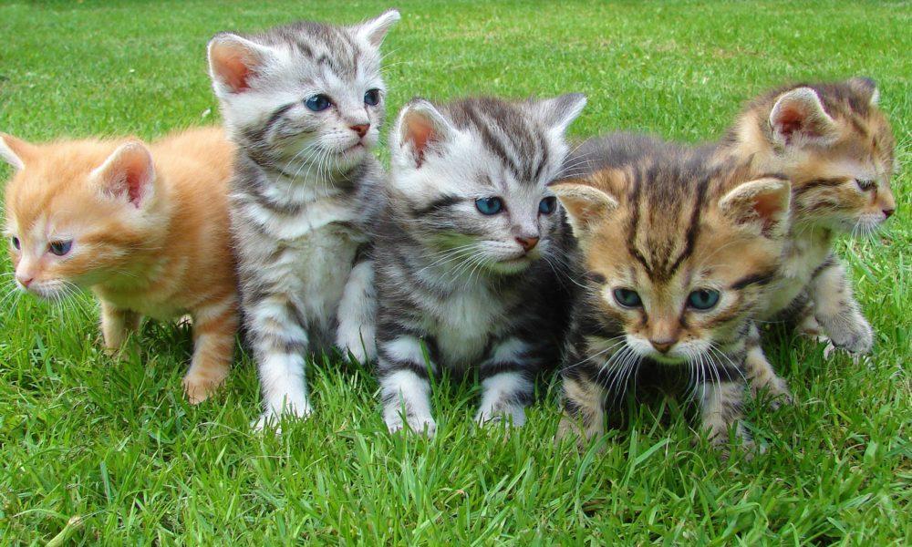 cuccioli di gatto soriano