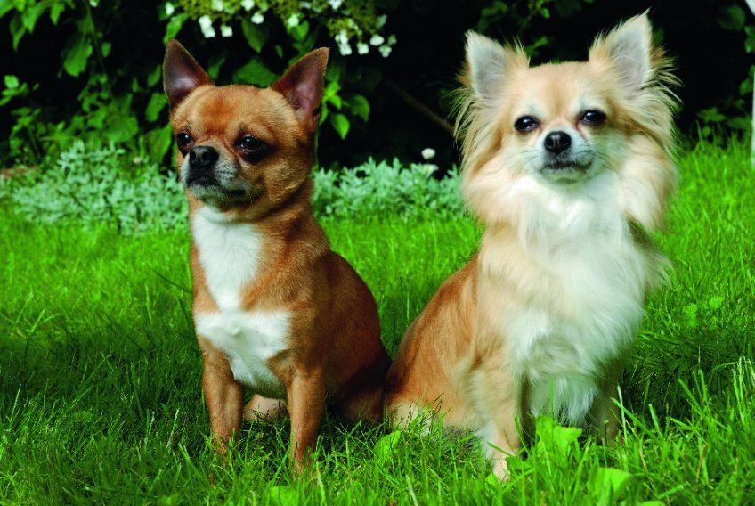 Razze canine chihuahua