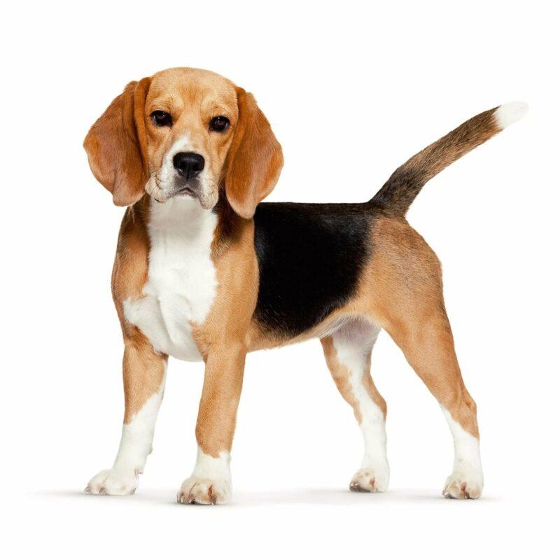 Razze Canine il Beagle